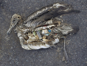 Dead Albatross And Plastic - Photo by USFWSHQ - flickr.com