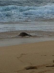 Sea Turtle Leaving Beach photo by Hawaii Travel Podcast