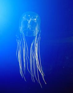 Box Jellyfish by Guido Gautsch